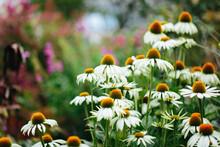 White Echinacea Flowers