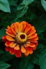 Colorful Orange Zinnia Flower In Full Bloom