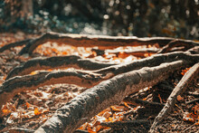 Beautiful Roots Stand High Above The Ground In The Forest And Create Obstacles For People. A Close-up Of The Long, Thick, Gray Roots Above The Drooping Orange Leaves.