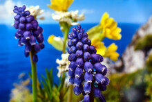 Details Of A Beautiful Blue Muscari Flower In The Spring