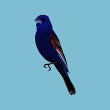 The Blue Grosbeak (Passerina Caerulea), North American Passerine Bird, Male - Vector Illustration