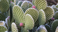 USA, New Mexico, Bosque Del Apache National Wildlife Refuge. Close-up Of Beavertail Prickly-pear Cactus.