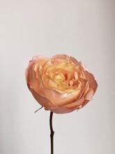 Paslet Rose Flower Bud