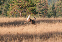 White-Tailed Deer Flagging Tail