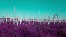 Infrared Leafless Birch Trees In Nature