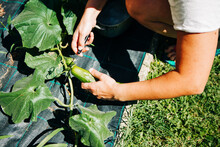 Gathering Cucumbers From The Garden