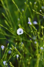 Blue Flower Growing In Field