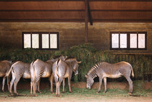 Group Of Zebras Eating In The Farm