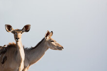 Female Kudu In Symbiosis With Red-billed Oxpecker Birds