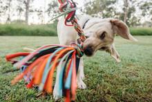 Labrador Playing