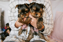 A Woman Shows Her Yorkshire Terrier Puppies On A Sofa In A Living Room Home