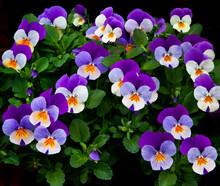 USA, Oregon, Coos Bay. Purple Violas.