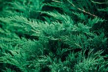 Evergreen Foliage Close-up Detail