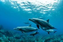 Dolphins Inhabiting Mikurajima In Tokyo, Japan