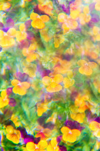 Yellow/Purple Pansies