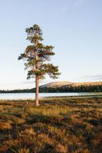 A Single Pine Tree In Sweden