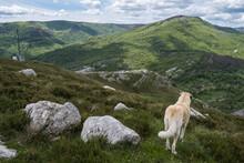 Anatolian Shepherd Guarding