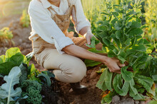 Anonymous Woman Picking Fresh Lettuce Leaves While Working On Farm