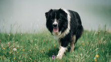 Black And White Shepherd Dog In The Nature