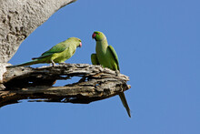 Rose-ringed (ring-necked) Parakeets Perched On Dead Branch, Uda Walawe National Park, Sri Lanka