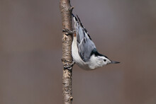 White Breasted Nuthatch On Perch Or Flying Off Birdfeeder With Fast Wingbeats On Late Winter Day