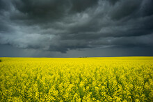 Canola Field With Storm Clouds.
