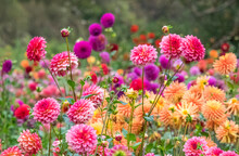 USA, Oregon, Canby, Swam Island Dahlias, Dahlia Flower Garden In Full Color