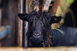 canvas print picture - goat on the farm