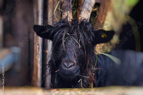 Fényképezés goat on the farm
