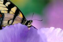 USA, Pennsylvania. Tiger Swallowtail Butterfly On Petunia Flower.