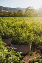 Lake County Cannabis Farm