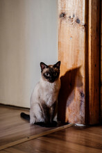 Cute Siamese Cat Standing On The Corridor At Home