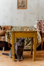Cute British Shorthair Cat On Living Room Under Old Coffe Table