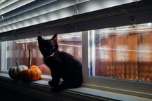 Black Kitten And Pumpkins