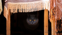 Cute British Shorthair Cat On Living Room Under Couch Looking At Camer With Wide Open Eyes