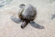Giant Tortoise Approaching The Shore Of A Beach In Hawaii.