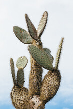 Prickly Pear Cactus On Galapagos Islands