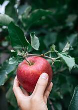 Hand Holding Fresh Picked Apple With Ladybug