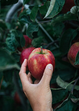 Hand Holding Fresh Picked Apple In Orchard