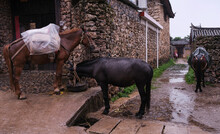 Ancient Village Buildings And Horses, In Lijiang, Yunnan. It's Raining