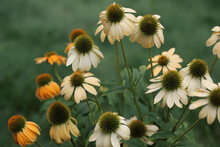 Yellow And White Echinacea Flowers In A Summer Garden