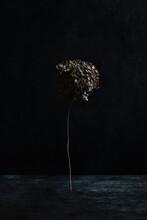 Dried Hydrangea.