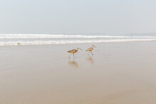 SandPipers On Shore