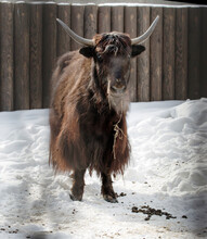 Domestic Yak, Or Tibetan Bull.   This Is An Ungulate Mammal. The Homeland Of The Yak Is Tibet.