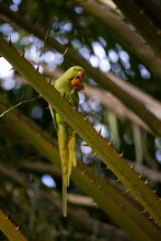 A Green Parrot Sitting In A Palm Tree Feeding On A Palm Seed