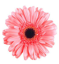 Pink Gerbera Flower Isolated On White, Flower Background