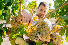 Farmer Harvesting White Grapes In A Sunny Day