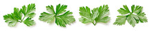 Parsley Clipping Path. Organic Fresh Parsley Leaves Isolated On White. Full Depth Of Field