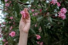 Woman Touching Oleander Flower