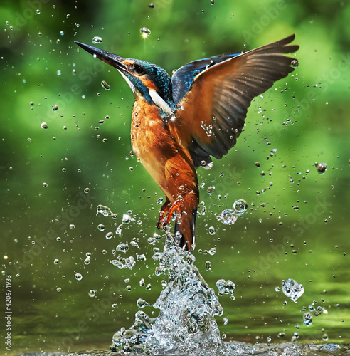 Fotografiet Kingfisher flying over water